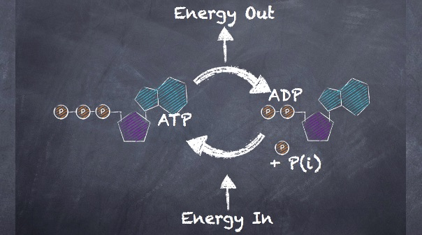 define resynthesis Video: muscle metabolism: synthesis of atp  examples are utilized to define glycolysis, the citric acid cycle and oxidative phosphorylation atp is the energy source.